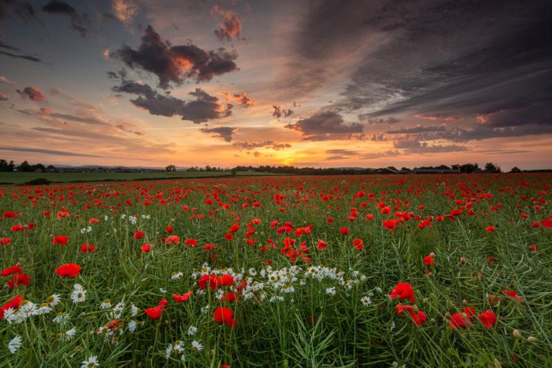 Ratho Poppy Sunrise